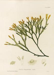 British Seaweeds #137