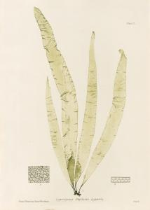 British Seaweeds #150