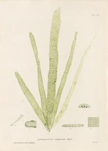 British Seaweeds #165