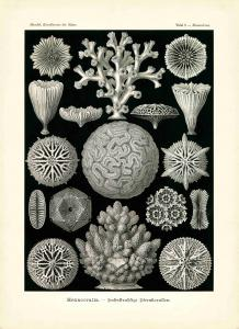 Haeckel #009