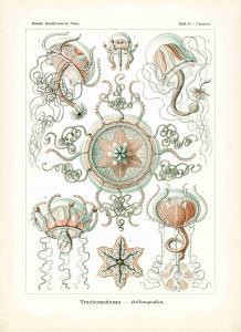 Haeckel #026