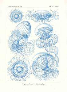 Haeckel #036