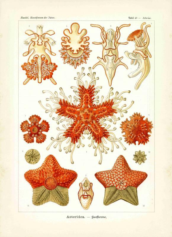 Haeckel #040