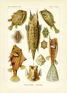 Haeckel #042
