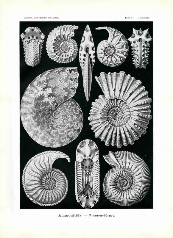 Haeckel #044