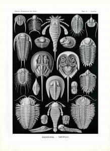 Haeckel #047