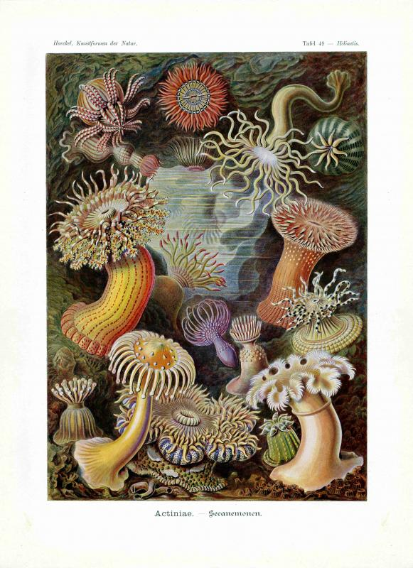 Haeckel #049