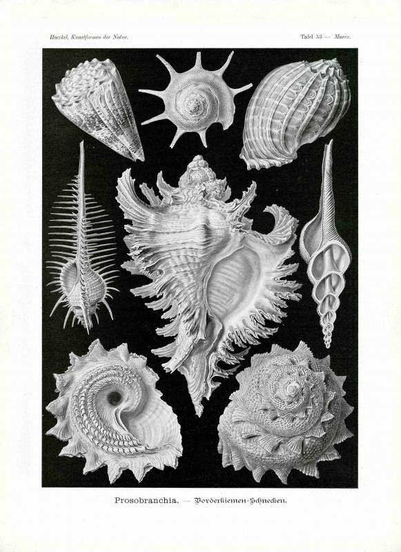 Haeckel #053