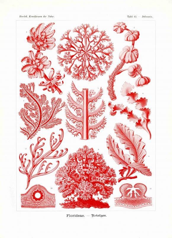Haeckel #065