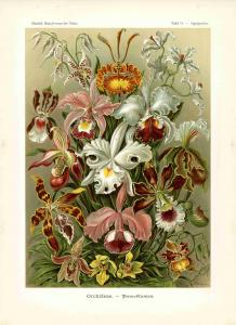 Haeckel #074