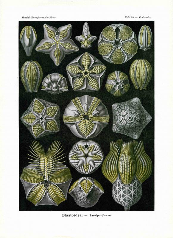 Haeckel #080