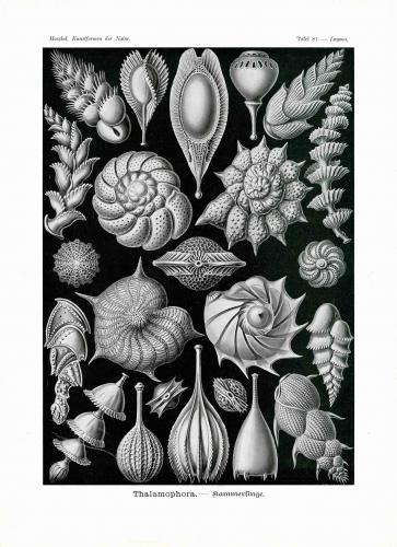 Haeckel #081