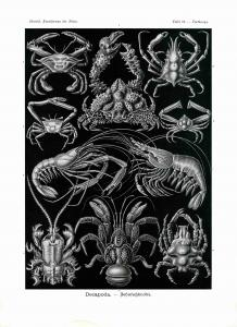 Haeckel #086