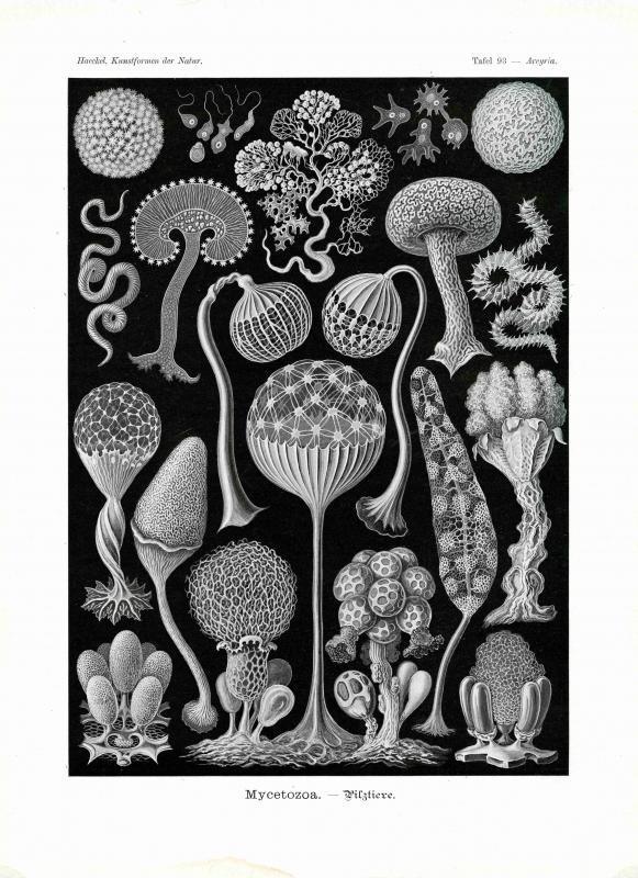 Haeckel #093