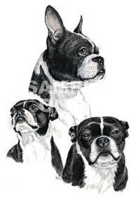 T-shirt med Bostonterrier