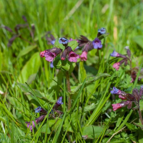 På våren blommar Lungört på Eldgarnsö naturreservat