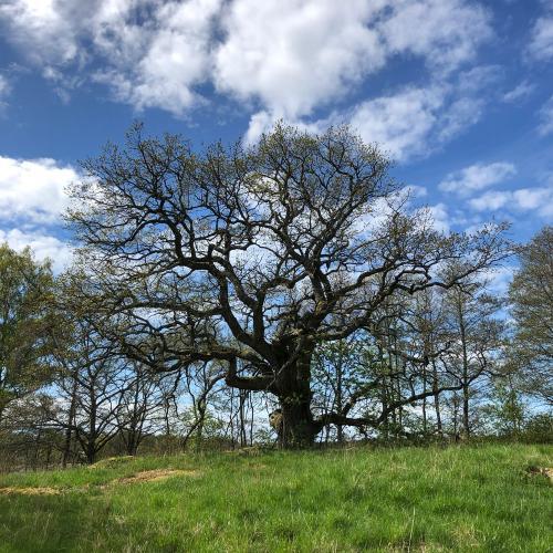 På Eldgarnsö naturreservat hittar man denna magnifika ek