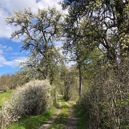På Eldgarnsö naturreservat finns denna vackra, vildvuxna päronträdallé