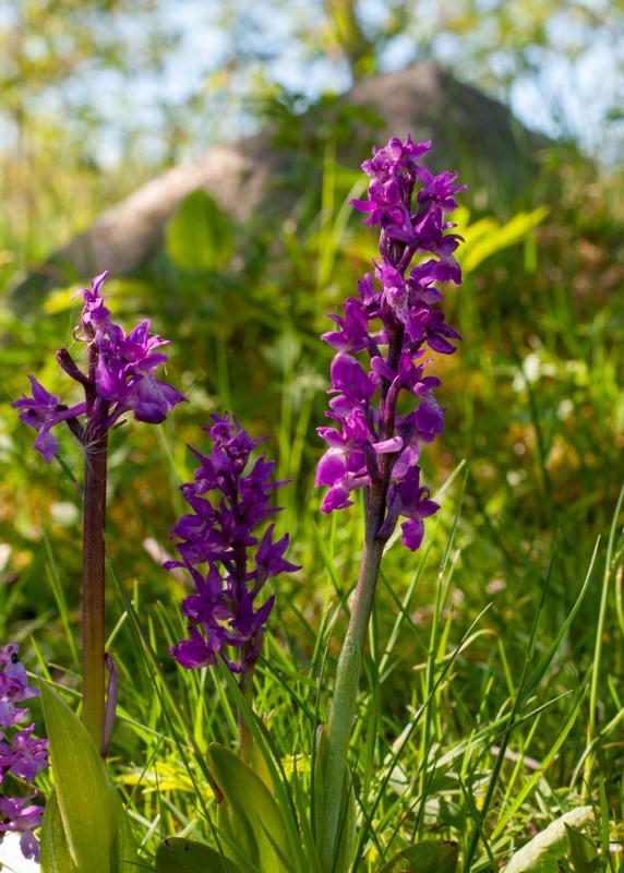 Det finns flera orkideer i Riddersholms naturreservat