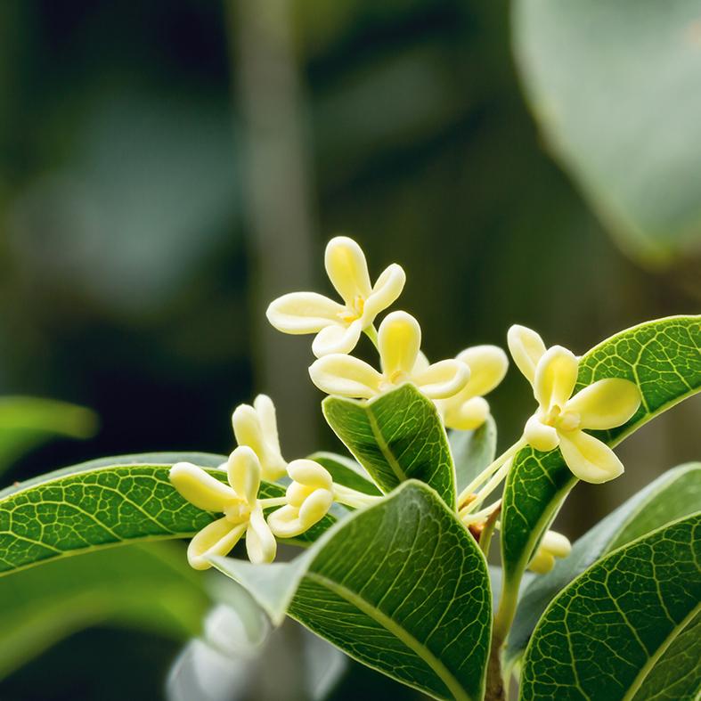 Bamboo & Olive Blossom
