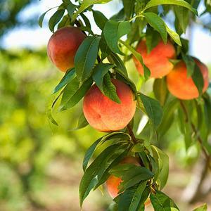 Peach & Honeydew