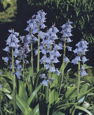 Hyacinthoides hispanica Excelsior