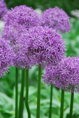 Allium aflatunense Purple Sensation (Kirgislök)