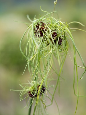 Allium vineale Hair