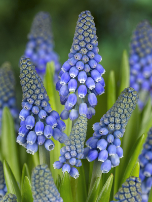 Muscari armeniacum Big Smile