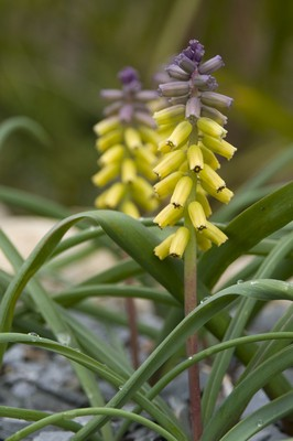 Muscari macrocarpum Golden Fragrance (Gul myskhyacint)