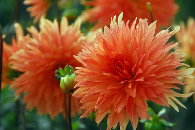 Dahlia Mevr. Clement Andries