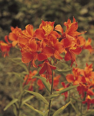 Alstroemeria aurea Orange King (Guldalströmeria)