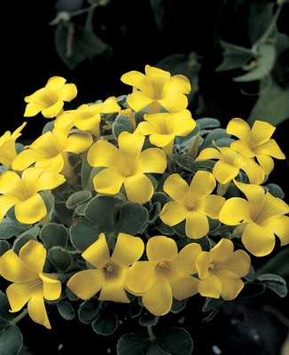 Oxalis purpurea Ken Aslet