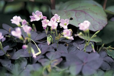 Oxalis triangularis Myke