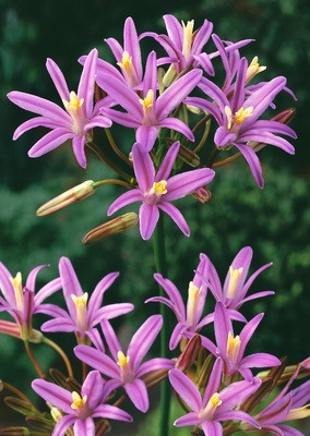 Brodiaea californica Babylon