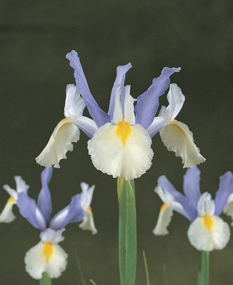Iris Hollandica Silvery Beauty