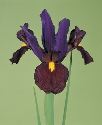 Iris Hollandica Tigereye  (Eye of the Tiger)