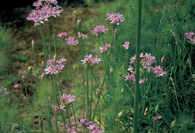 Allium unifolium (Glanslök)