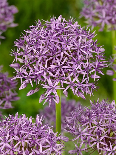 Allium stipitatum Violet Beauty (Skägglök)