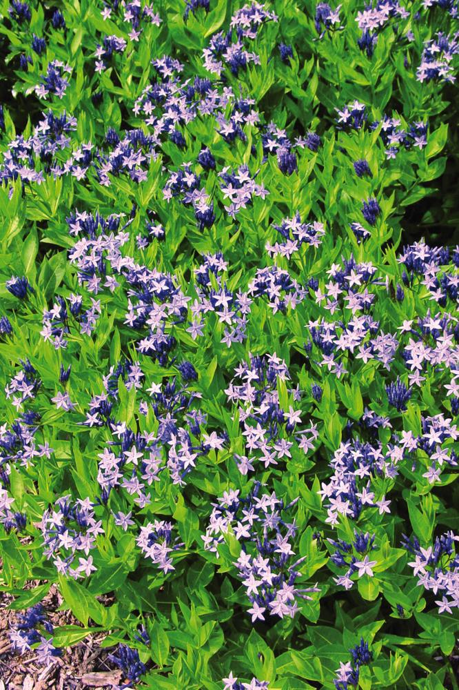 Amsonia hybrida Blue Ice