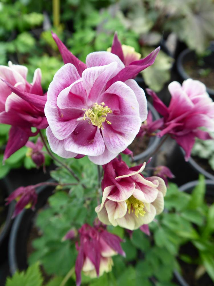Aquilegia vulgaris Winky Double Rose and White