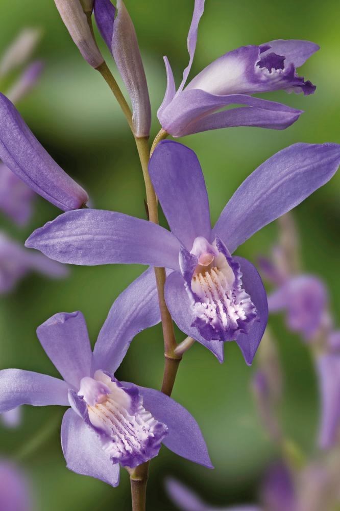 Bletilla striata Blue Dragon