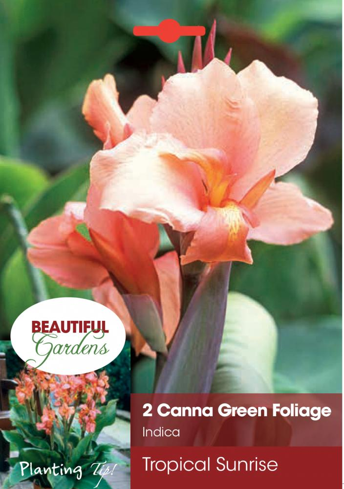 Canna Tropical Sunrise