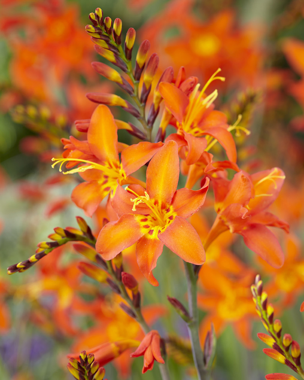 Crocosmia crocosmiiflora Prince of Orange