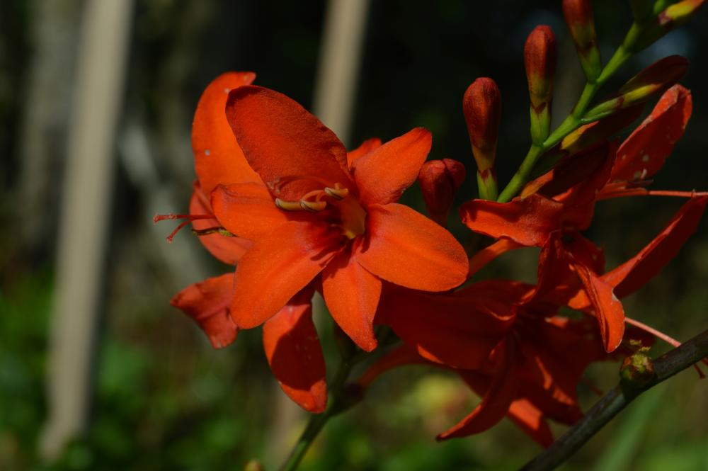 Crocosmia crocosmiiflora Princess