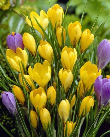 Crocus Golden Yellow (Yellow Mammoth)