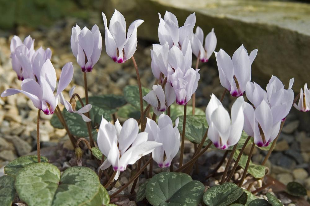 Cyclamen cilicium Album (Turkcyclamen)
