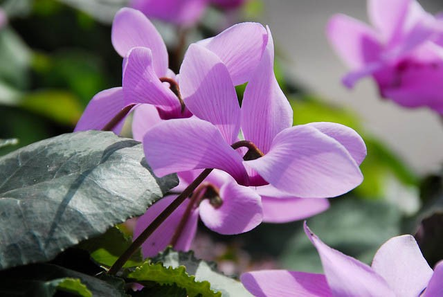 Cyclamen cilicium (Turkcyclamen)