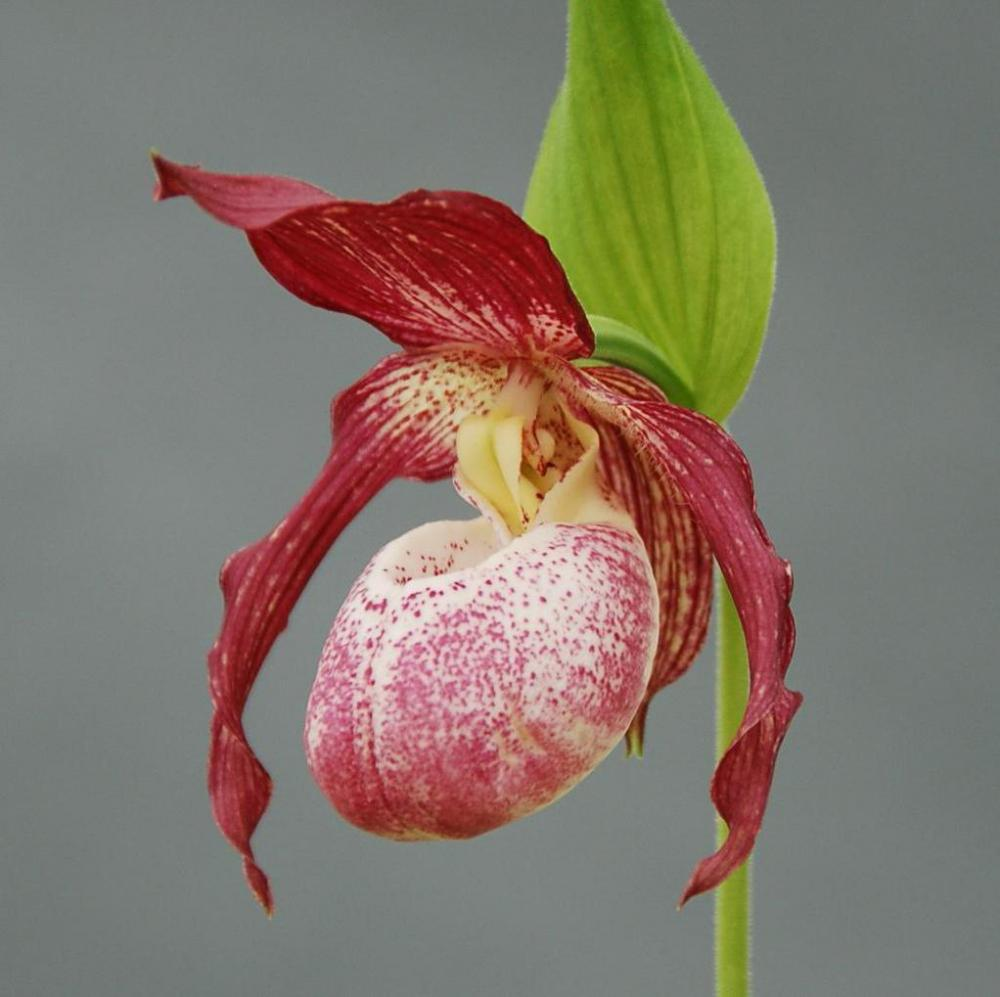 Cypripedium hybrid Philipp