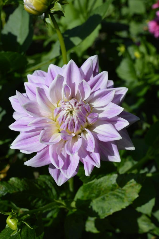 Dahlia Ferncliff Inspiration